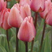 Totorri Tulip - Pack of 10