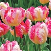 Silver Parrot Tulip - Pack of 10