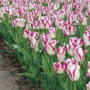Tulip 'Affaire' Alternate Image 1