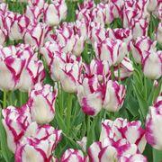 Tulip 'Affaire' Alternate Image 2