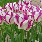 Tulip Affaire