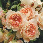 Carding Mill® Shrub Rose