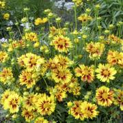 Coreopsis Li'l Bang™ Enchanted Eve