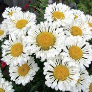 Leucanthemum REALFLOR® Real Neat