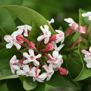 Sweet Emotion™ Fragrant Abelia