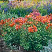 Inca Joli™ Peruvian Lily