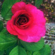 Heirloom Hybrid Tea Rose Alternate Image 1