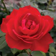 Obsession™ 36-inch Tree Rose