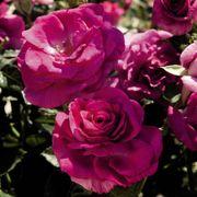 Sweet Intoxication 36-Inch Tree Rose Thumb