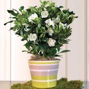 Sultry Summer Gardenia 4-inch