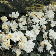 White Simplicity Hedge Rose
