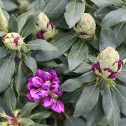 'Purple' Dandy Man™ Rhododendron