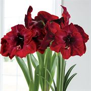 Bag of 3 Grand Diva® Amaryllis Bulbs