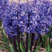 Hyacinth Anastasia