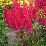 Astilbe Mighty Chocolate Cherry