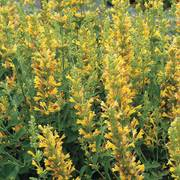Agastache Kudos™ Yellow