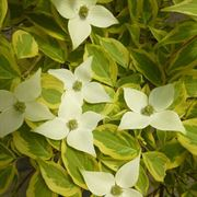 Summer Gold Chinese Dogwood