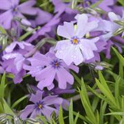 Purple Beauty Phlox subulata