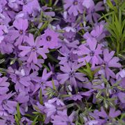'Purple Beauty' Phlox subulata