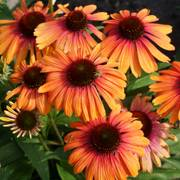 Echinacea Butterfly™ Rainbow Marcella