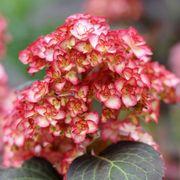 Hydrangea macrophylla Miss Saori