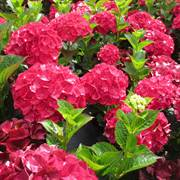 Hydrangea Magical Ruby Red