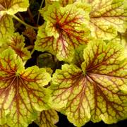 Heuchera Red Lightning