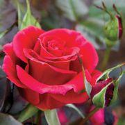 'Frankly Scarlet' Floribunda Rose