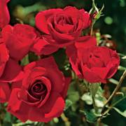 Frankly Scarlet Floribunda Rose