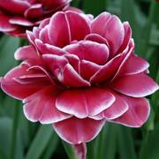 Tulip Double Dreamtouch