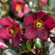 Ice 'n Roses Red Hellebore