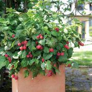 Bushel and Berry® Raspberry Shortcake®