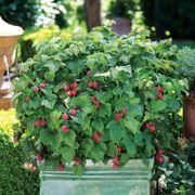BrazelBerries® Raspberry Shortcake™