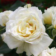 Polar Express™ Sunbelt® Floribunda Rose