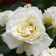 Polar Express™ Sunbelt® Shrub Rose