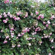 Jasmina™ Arborose® Climbing Rose Alternate Image 1