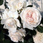 Honeymoon™ Arborose® Climbing Rose Alternate Image 1
