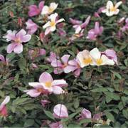 Mutabilis Shrub Rose