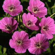 Geranium Pink Penny