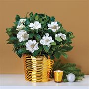 Heavenly Scented Gardenia