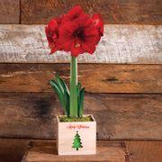 Grand Trumpet® Merry Christmas Amaryllis Single