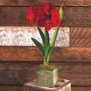 Grand Trumpet® Natures Grace Red Amaryllis Single