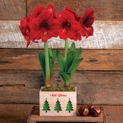 Grand Trumpet® Merry Christmas Amaryllis Duo