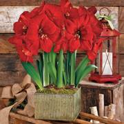 Grand Trumpet® Natures Grace Red Amaryllis Triple