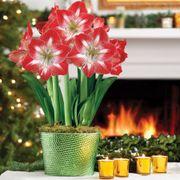 Grand Trumpet® Ruby Snowflakes Amaryllis Triple