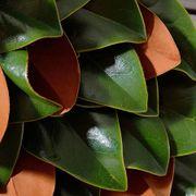 Magnolia Leaf Wreath 24-inch