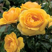 Soaring to Glory 24-Inch Tree Rose