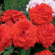 Light My Fire™ Floribunda Rose