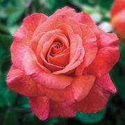 Sedona® Hybrid Tea Rose