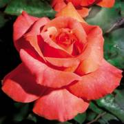 Sedona Hybrid Tea Rose